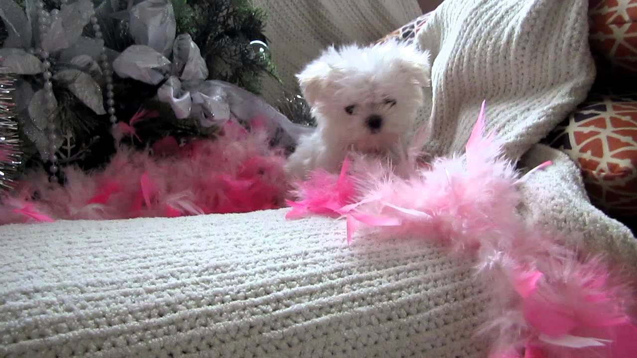 Displaying 12> Images For - Miniature Teacup Maltese...