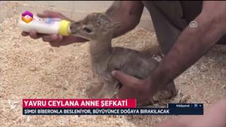 Yavru Ceylana Anne Şefkati