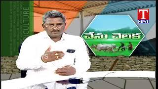 Chenu Chelaka - Farmer Brahmaiah About Hedge Lucerne Grass and Herding - T news Live Telugu - netivaarthalu.com
