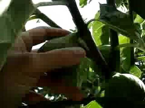 How to pick and eat figs fresh from my giant fig tree