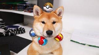 Shiba Puppy Opens some Poké Balls