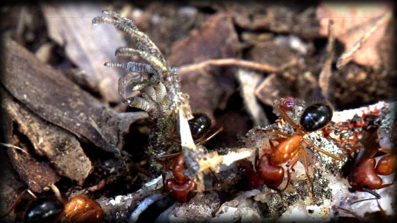 Lizards Eat Ants Fire Ants vs Lizard 03