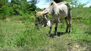Thai Indu Brasil Cattle @ AP Farm , Thailand (2)