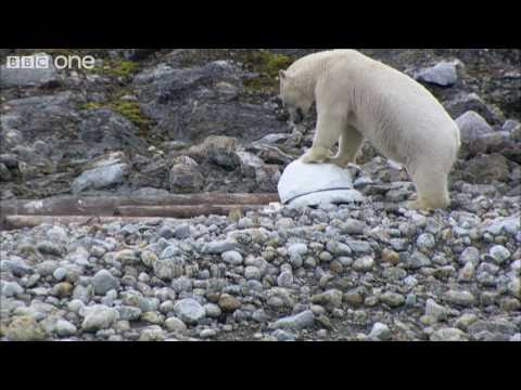 Polar bears smash the spy cams - Polar Bear: Spy On The Ice - BBC One