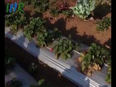 Strawberry Plant Garden, Mahabaleshwar - Indian Strawberry Fruit Video