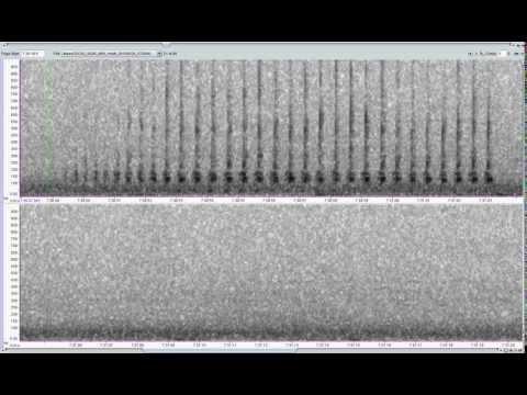 Minke Whale pulse train