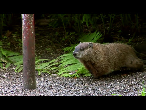 Ground Hog Day (2013 HD)