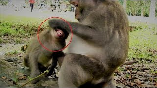 Mum fights strongly, he extremely tired hungry he cry so hurt so much  Youlike Monkey 540