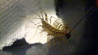 House Centipede Eating Squished Fly Off Needle