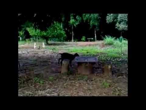 Sumatra 5.5 vs carneiro