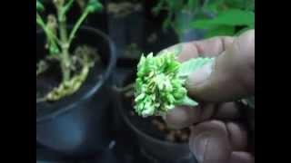 Marijuana Medical Grow a hidden hermaphrodite cluster