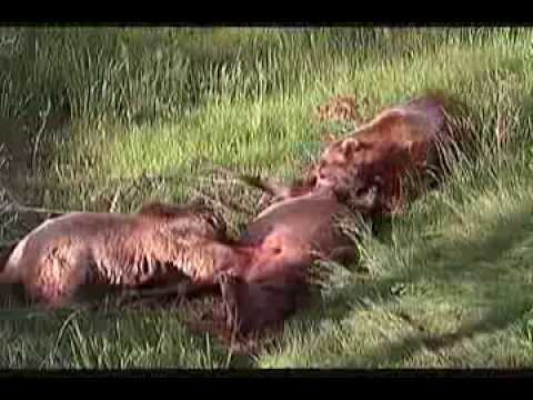 Documentaire Sur Les Ours video