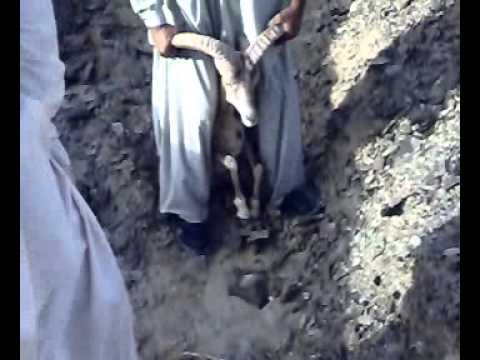 Ibex Hunting in Balochistan Urial And Ibex Hunting in