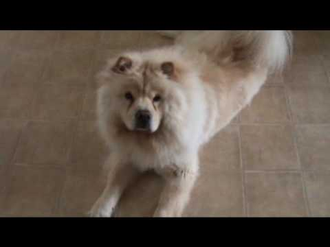 ... obedience! The Smartest Chow Chow Dog (Teddy Bear) -- the Wonder Chow