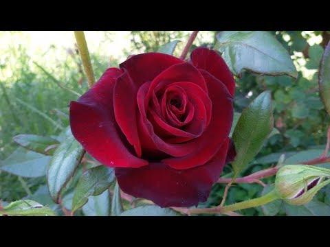 Розы из уценки. Цветение.
