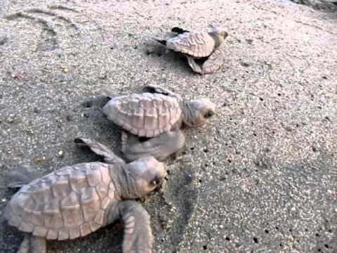 sea turtle hatchlings on their epic journey to the sea