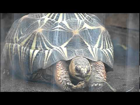 ホウシャガメの食事。Radiated Tortoise is eating.