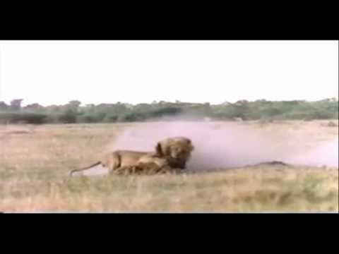 Aslanın Sırtlan Avı