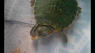 🐢🐢 Cách Cho Rùa Ăn - Turtles  Eating 🐢🐢 ( Tôm Khô Nhé )