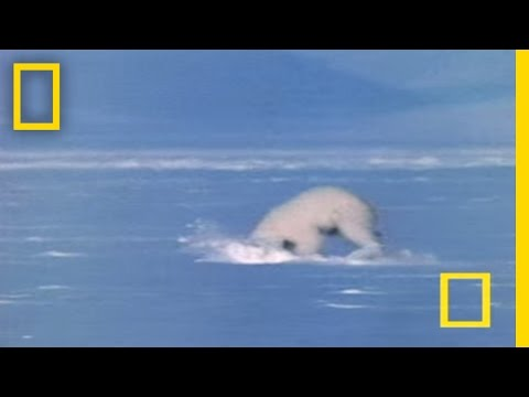 Polar Bear Attacks Seal
