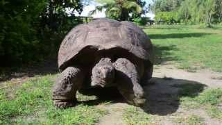Giant tortoise walking on Bird Island, Seychelles.