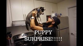 VLOG: SURPRISED MY BOYFRIEND WITH A HUSKY PUPPY! (shocked!)