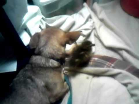 Duck Imprinting on Dog Baby Duck Imprinted on