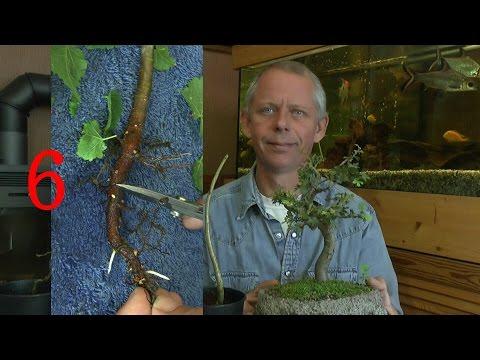 Bonsai für Anfänger Teil 6 ältere Sämlinge einpflanzen im Sommer