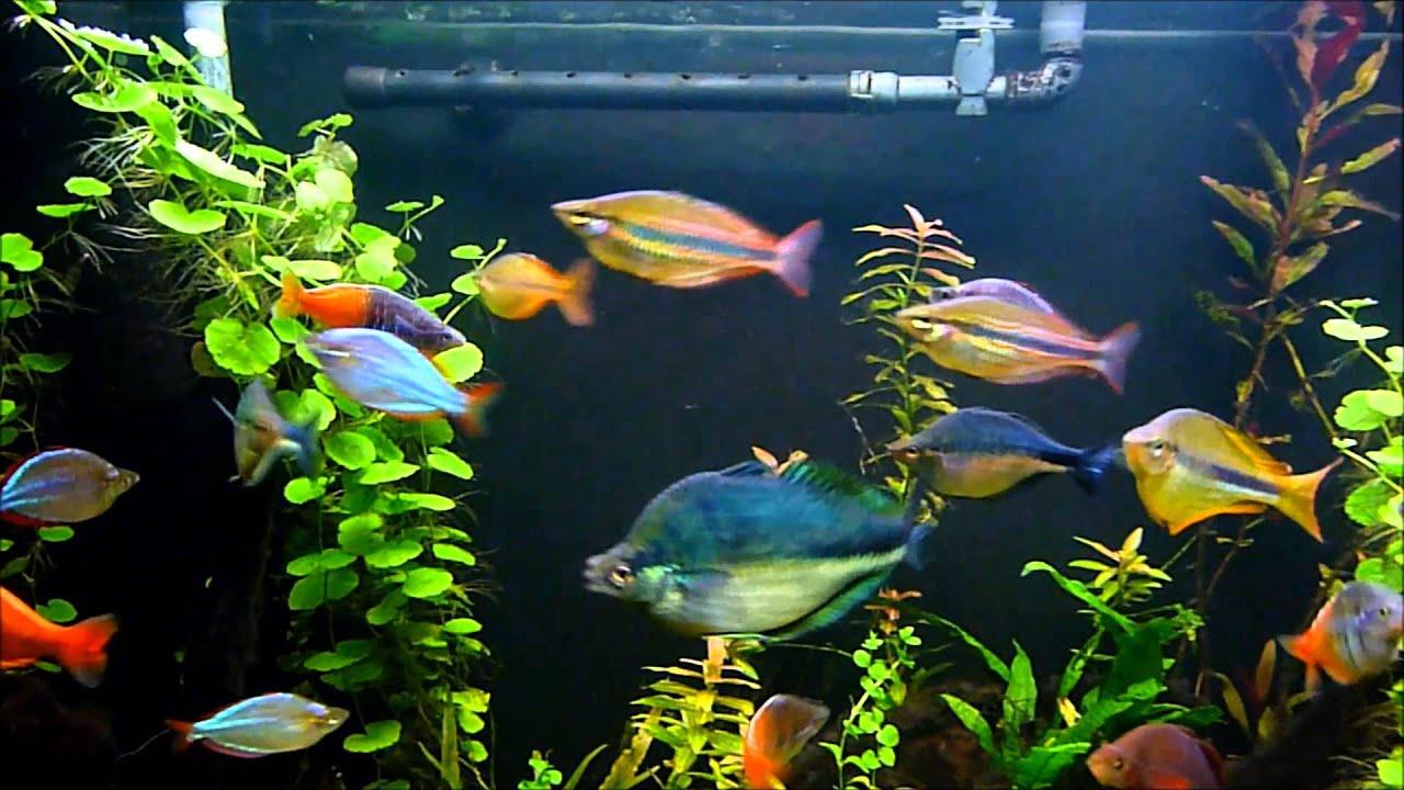 120 gallon rainbow fish planted aquarium youtube for Tropical rainbow fish