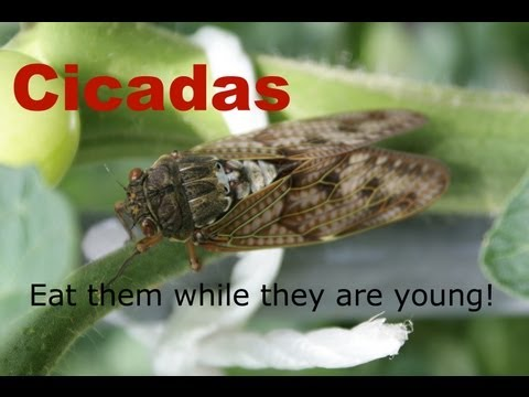 What Are Cicadas - Bugs You Can Eat - MomPrepares