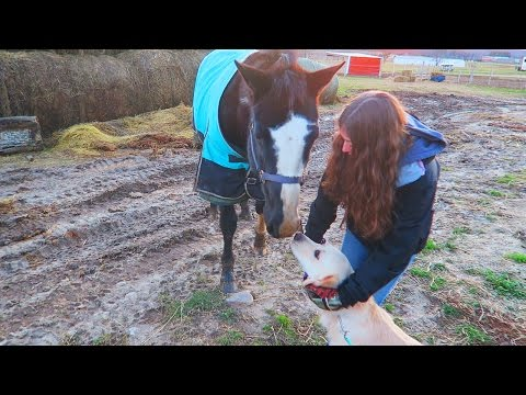 GOLDEN RETRIEVER MEETS A HORSE! (Super Cooper Sunday #45)