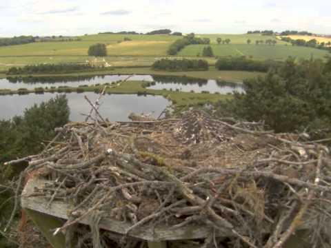 Further Buzzard Attack Witnessed On Osprey Nest