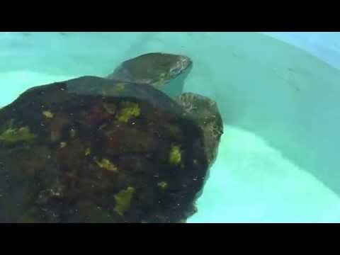 Loggerhead sea turtles are an endangered species