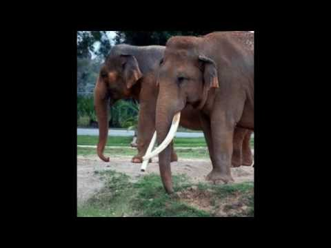 Endangered Asian Elephant