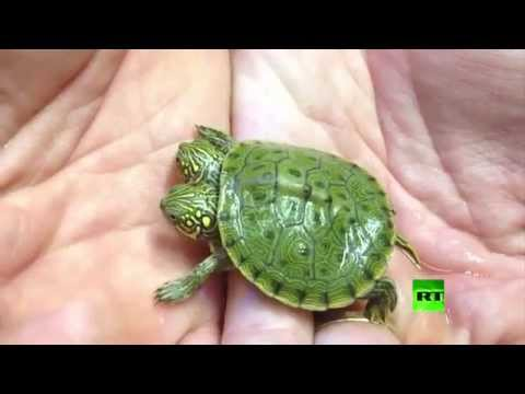 Two Headed Yellow Bellied Slider for sale from The Turtle