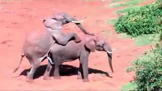 Mating elephants تزاوج الفيلة