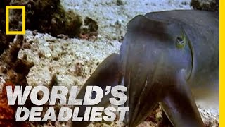 """Sudden Death"" Cuttlefish 