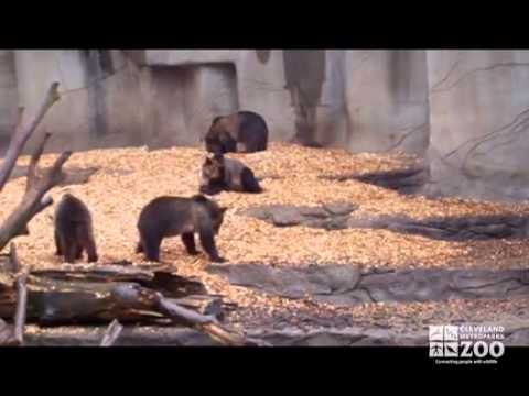 Grizzly Bear Cubs Play in Exhibit at Cleveland Metroparks Zoo.