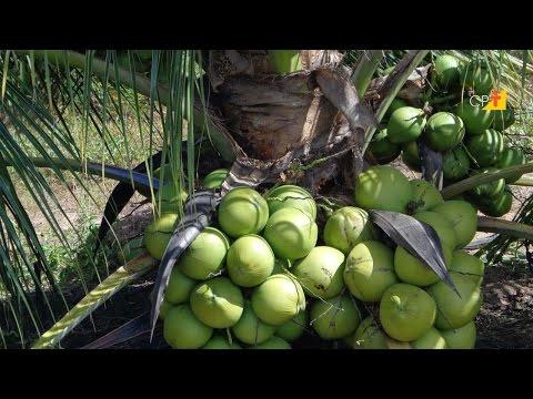 Clique e veja o vídeo Curso a Distância Controle de Pragas e Doenças do Coqueiro