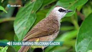 Mp3 Suara Burung Trucukan Gacor Ngerol Durasi Panjang