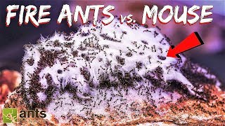 I Gave My Ants a Mouse