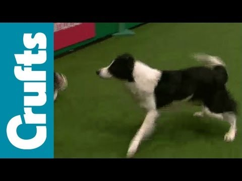 Agility - International - Large - Agility - Crufts 2012