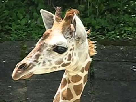 キリンのあかちゃん(6) @東山動物園