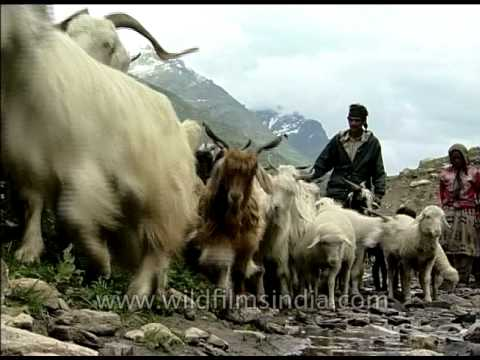 Uttaranchal shepherd crossing the high passes