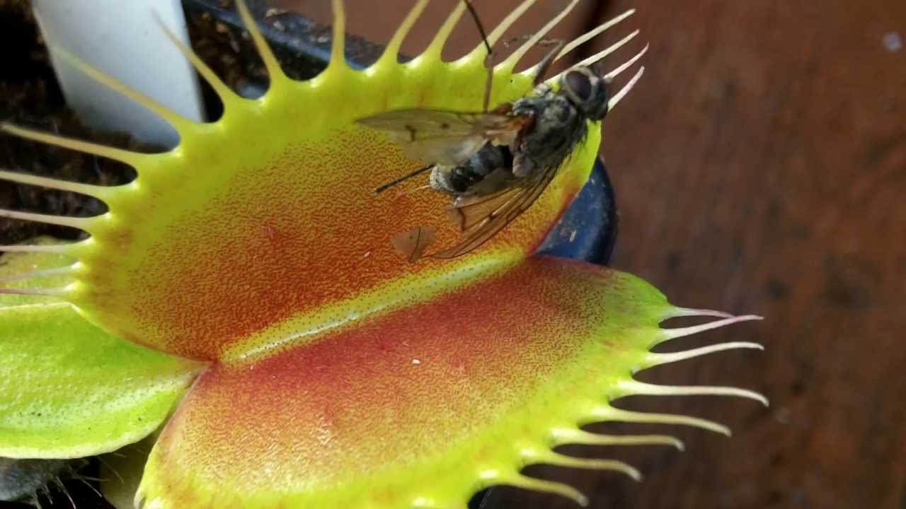 Tropical Rainforest Venus Fly Trap Rainforest Venus Fly Trap
