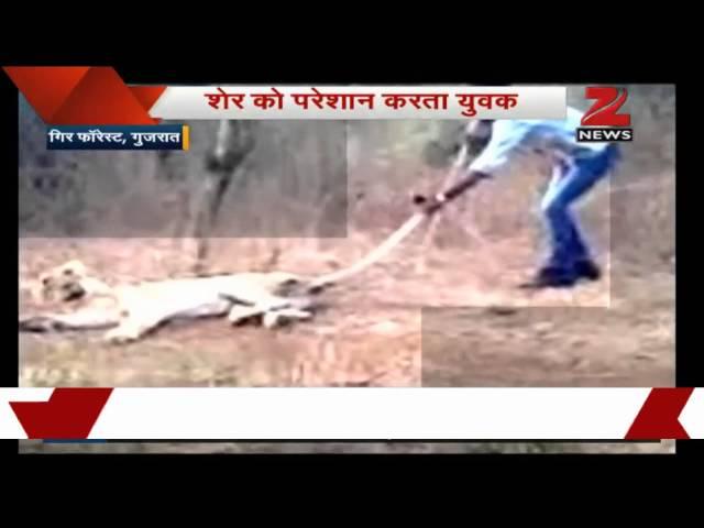 Watch: Man agitates a lion in Gir forest