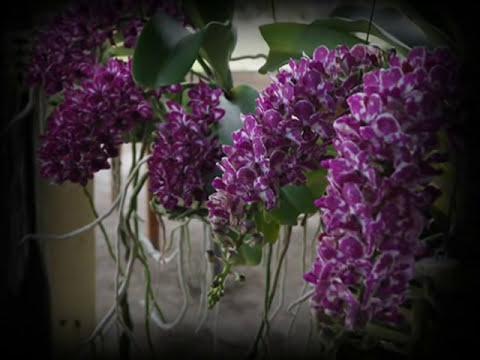Thai Orchid - Rhynchostylis gigantea