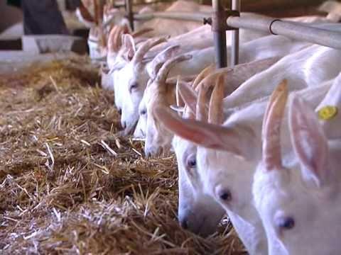 BOLANA Keçi Sütü Ürünleri Tanıtım Filmi