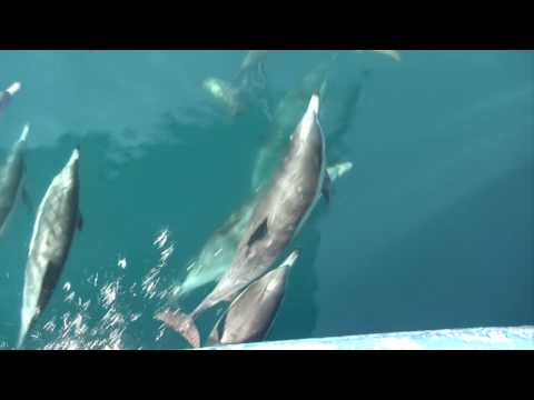 dolphins-jumping-and-playing-in-front-of-the-boat.html