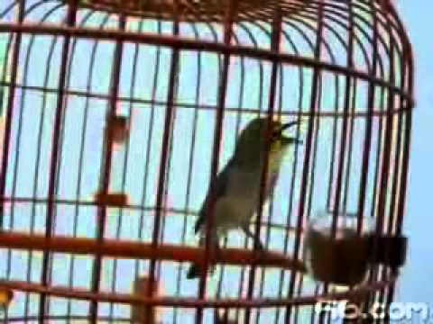 Burung Kacamata - You Tube 3gp video